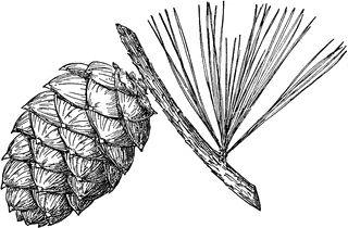 Pine Cone of Whitebark Pine