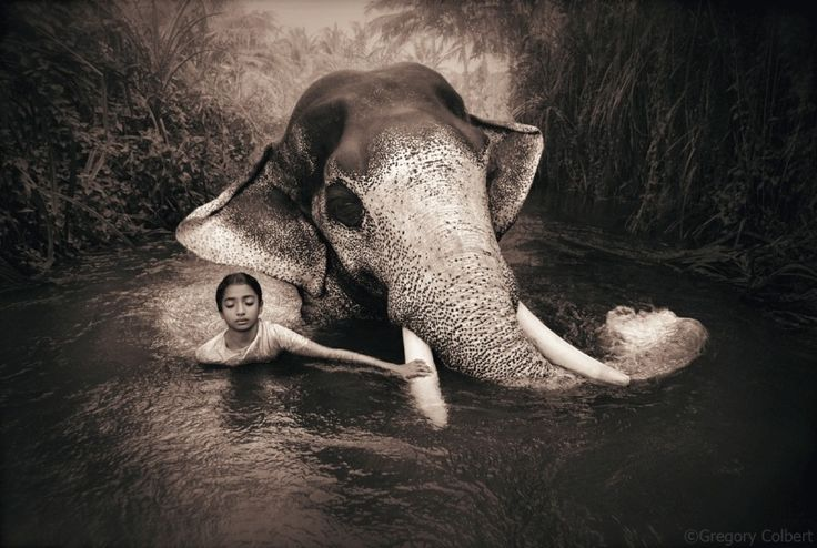 Gregor Colbert Среди разнообразия животного мира особое место занимают слоны, с которыми у Колберта сложились теплые отношения. Эта любовь связана с детскими воспоминаниями, когда Грегори из-за его ушей называли слоном. Кстати, будучи уже состоявшимся взрослым, он создаст «Фонд летающих слонов», поддерживающий научную и творческую деятельность людей, для которых охрана природы – не пустые слова.