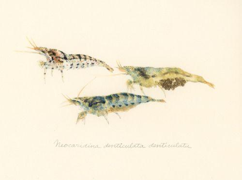 "Neocaridina denticulata denticulata / Freshwater shrimp / ""Minaminumaebi"" (ミナミヌマエビ Neocaridina denticulata denticulata:…"