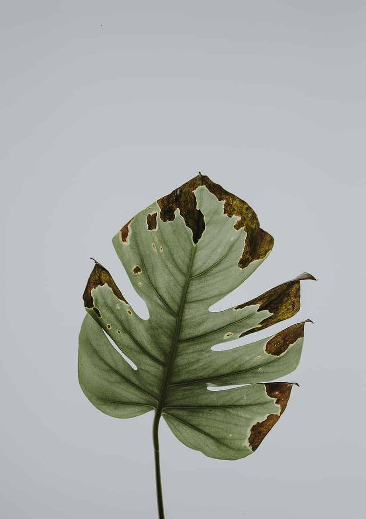 Root rot can kill your precious monstera in a matter of