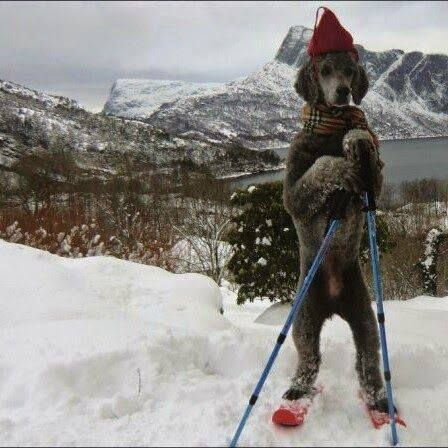 Skiing Poodle can your fur friend ski???
