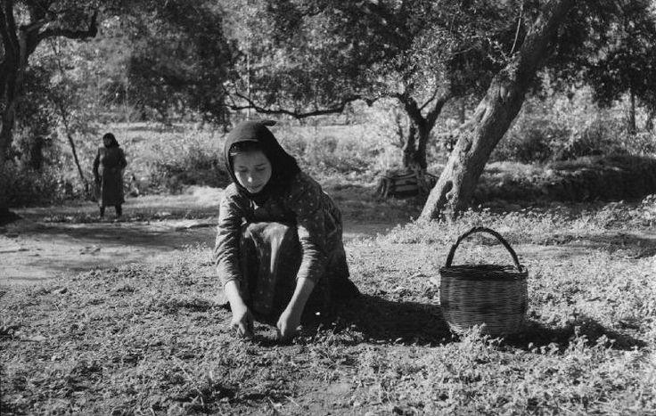 GREECE. Corfou Island. Olive harvest. 1957 Rene Burri