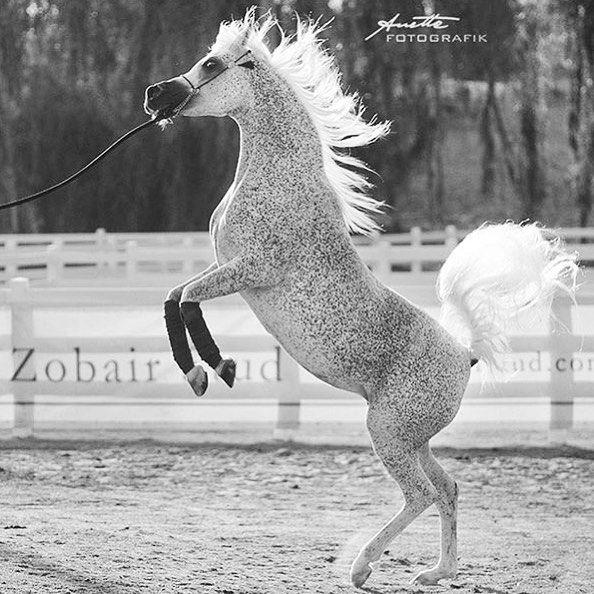 الخيل العربي On Instagram الخيل خيل خيول الخيول الخيول العربية الخيل العربية الخيول العربيه الخيل العربي الخيول العربية الأصيلة مربط حصان حصان Horses Animals