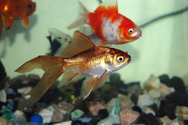 http://bimaculatus.webnode.com/news/ryby-akwariowe-akwarium-zwykle-czy-kontowe-oto-pytanie/