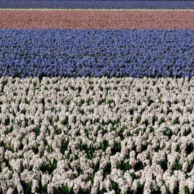 Hyacinth fields, Netherlands | 1,000,000 Places