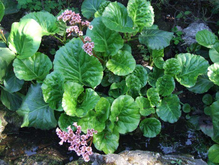 Die Bergenie für den Schatten besitzt interessante Blätter und rosa Blüten
