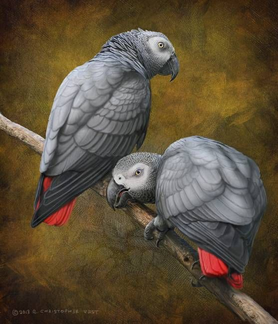 african grey parrots by R Christopher Vest