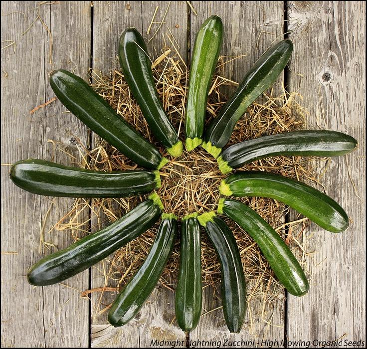 Organic Midnight Lightning Zucchini - a High Mowing Organic Seeds' exclusive variety.