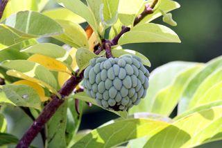 Rhum arrangé zatte ou pomme cannelle.  Recette créole traditionnelle.