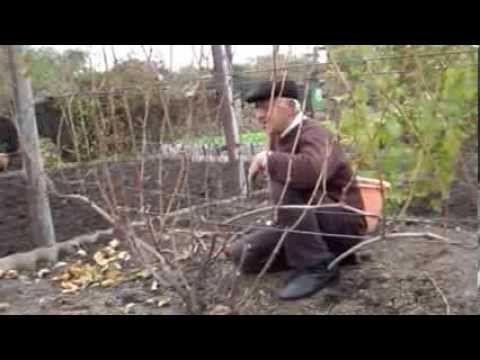 Осенняя обрезка кустов винограда. Нарезка лозы винограда для выращивания саженцев - YouTube