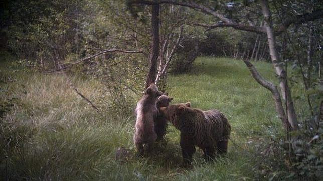 Nacen cuatro cachorros de oso pardo en el Parque Natural del Alt Pirineu