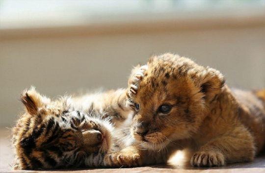 [뉴스pick] '친하기 힘든 동물?'…편견 깨버린 새끼 사자와 호랑이의 우정 : 네이버 뉴스