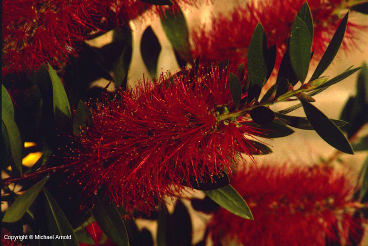 image of Crimson Bottlebrush - dwarf version makes a great shrub