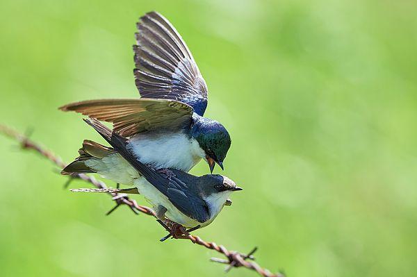 A little Tree swallow tango.
