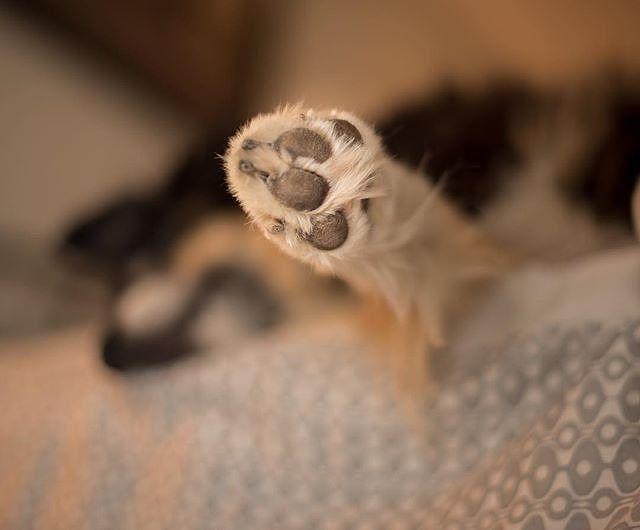 Hi Charlie.  How about a hi-five.  Or hi four. @a_girl_named_charlie - - #puppylove #doglover #dogoftheday #instapet #doggy #doglovers  #dogsofig #doglife #dogsofig #doglife #doggie #doglove #happydog #hund #perro #dogscorner #dogsofinstaword #chien  #doge #dogloverstagram #shepherdlovers