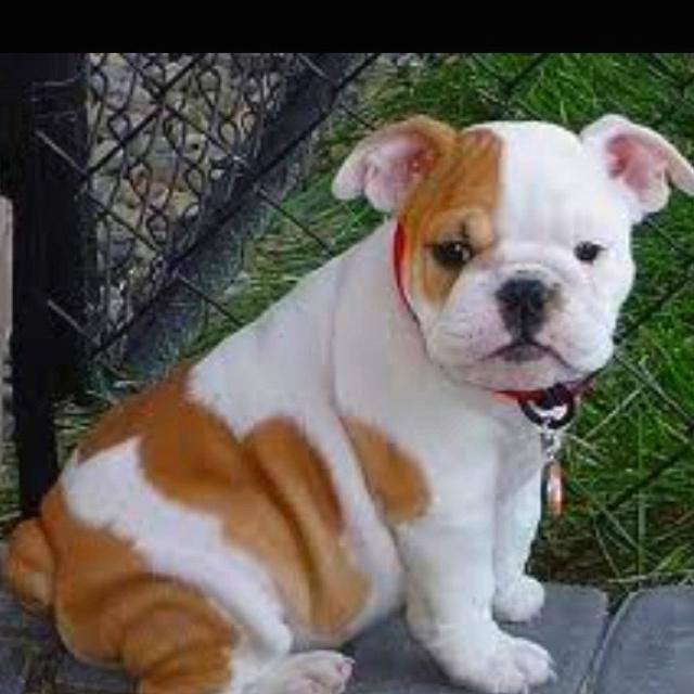 Cutest thing ever. Teacup English bulldog My bullies