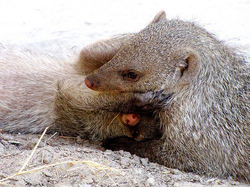 """""""Just Hug Me"""" , Mongoose love, Namibia"""
