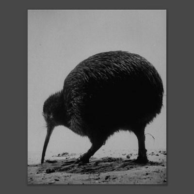 364 besten Kiwis Bilder auf Pinterest | Lustige bilder, Neuseeland ...