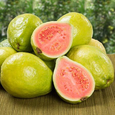 Fruit the 1st Year - not the 8th - You can easily grow Delicious Guava Fruit Indoors or Out.  A mature Guava tree can produce 40 - 70 lbs of fruit per year. Even a patio tree kept at 4-6 ft can give you plenty to enjoy and share. Guava trees can grow outdoors in zones 8-10, or indoors in colder areas. Just bring your potted tree...