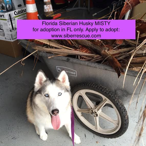 #Florida #Siberian #Husky #dog MISTY for #adoption in #FL: www.siberrescue.com