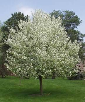 "Spring Snow Crabapple 20-25ft. Tall and wide. No fruit. ""A"" on Fort Collins tree list."