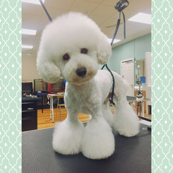 Norman, Toy Poodle (con immagini) | Barboncino, Cani
