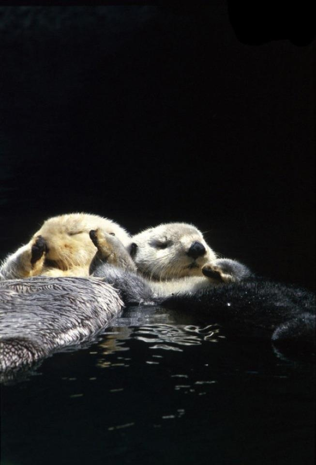 Sea Otters hold hands when they sleep so they don't drift away from eachother