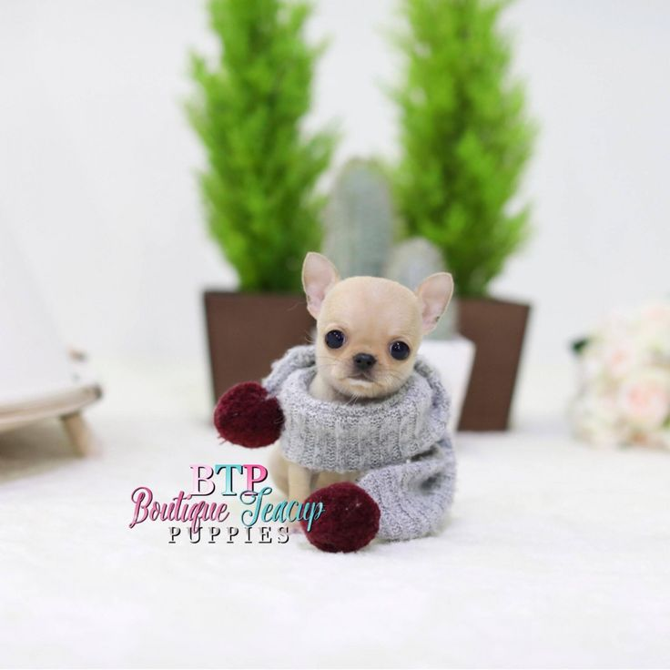 chihuahua dog breeder best 25 apple head chihuahua ideas on pinterest apple 5012