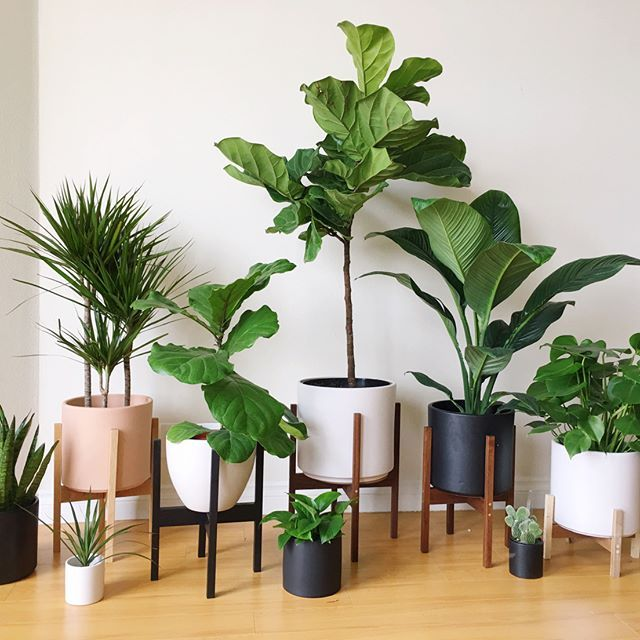 Plant Gang: snake plant, dragon plant, fiddle leaf…