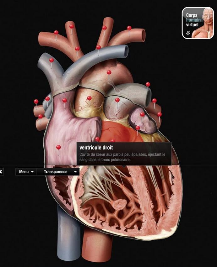 Saviez-vous que le coeur propulse chaque jour quelques 7 000 litres de sang dans le système vasculaire ? Cet organe est essentiellement formé d'un muscle, le myocarde, qui délimite quatre cavités : deux oreillettes et deux ventricules.     Apprenez-en davantage dans l'atlas anatomique gratuit.