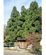 Yoshino Japanese Cedar (Cryptomeria japonica 'Yoshino') - Monrovia - Yoshino Japanese Cedar (Cryptomeria japonica 'Yoshino')