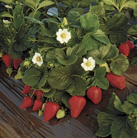 Plant seedling strawberry plants in September for next Springs crop.  Try a flower tower with spinach, or tomatoes, cucumbers, and gourds.  Cover with straw during cold winter winds.