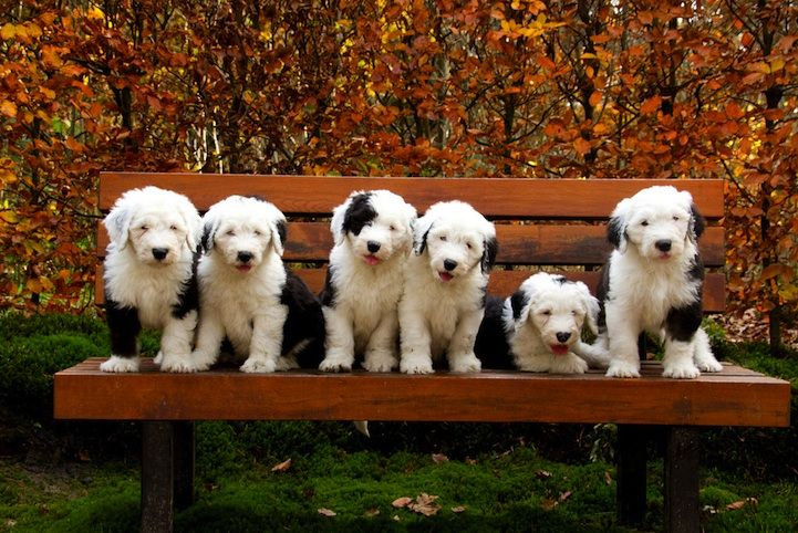 Six Old English Sheepdog Puppies That Will Melt Your Heart - My Modern Met