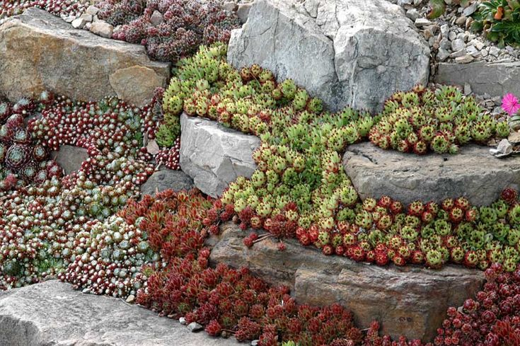 I am in love with Hens and Chicks - they are a great way to fill in space between rocks.