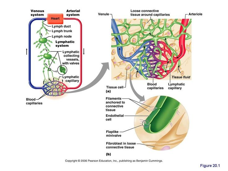 The lymphatic system returns fluids that have leaked from the blood (vascular system) back to the blood. Without it, our cardiovascular and immune systems would begin to shut down. The lymphatic system contains three parts, a network of lymphatic vessels, a fluid inside of the vessels called lymph, and lymph nodes that cleanse the lymph while it passes through.