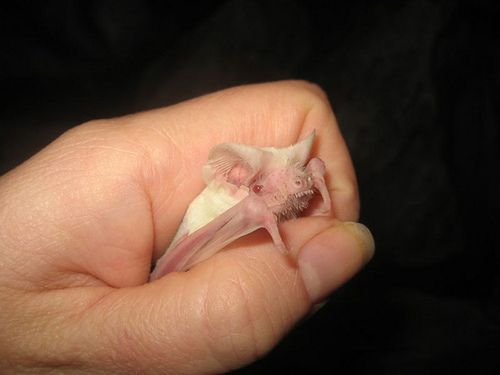 An albino Mexican free tail bat, Mary Cummins, Animal Advocates by Mary Cummins on Flickr.