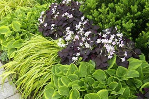 The vigorous small hosta 'Golden Tiara' is paired with variegated golden hakone grass (Hakonechloa macra 'Aureloa') and purple shamrock (Oxalis regnelli, often sold as Oxalis triangularis).