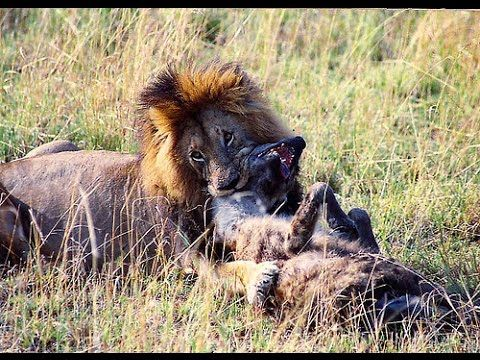 Lions Attack & Kill Hyena - Lions Hyenas Wars the only ...