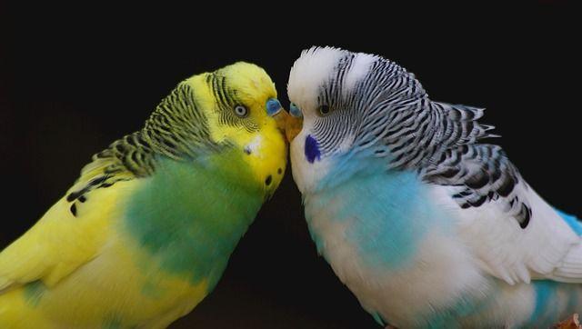 Do Parakeets Do Better In Pairs Pet Birds Best Pet Birds Pet