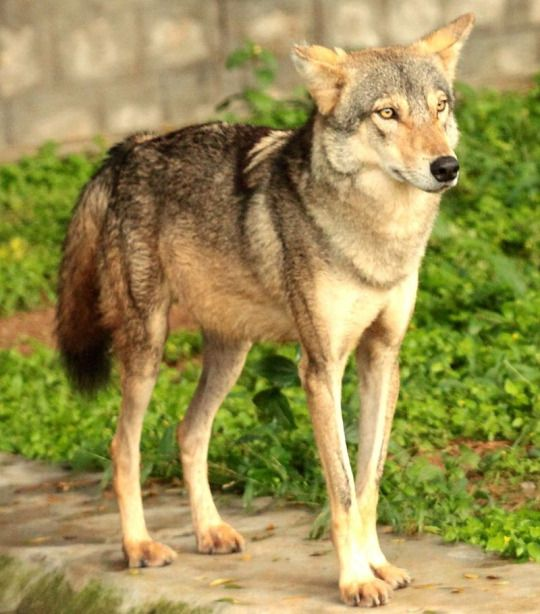 Picture by Pavan Kunder :  Indian wolf (Canis lupus pallipes) at Mysore Zoo.
