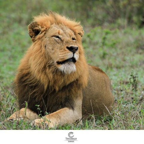 """Thanda Impi Male photo, by Alistair Leuner.   """"The truth is like a lion; you don't have to defend it. Let it loose; it will defend itself"""" - Augustine of Hippo"""