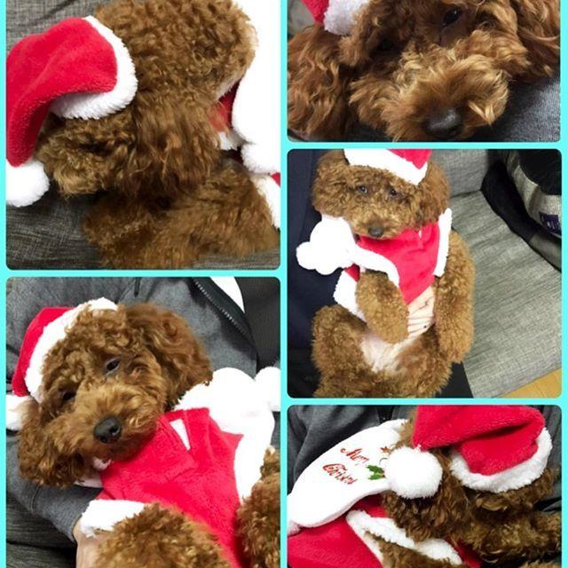 先日クリスマスカード🎄作成のため、サンタさんに変身(させられた)♡笑 でもモコサンタ❗️ やる気が微塵も感じられないーーーーw😂 帽子あんまり好きじゃないのは分かってるけどさ! あからさまだな‼️爆笑 なんとか数枚可愛いショットが撮れたので、急いで印刷&ポスト📮へダッシュ💨 ギリギリ間に合うかなーε-(´∀`; )  #toypoodle  #dog #dogstagram  #doginstagram #instadog #kawaii  #犬 #トイプードル #犬バカ部  #トイプードルレッド #愛犬 #トイプードルレッド女の子  #ふわもこ部 #親バカ部  #犬がいないと生きていけません会