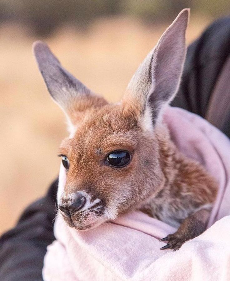 """Apparently, @kittycatuk had been wanting to visit @thekangaroosanctuary ever since she saw the TV series 'Kangaroo Dundee' a few years ago- """"the work that they do rescuing little joeys is so heartwarming"""". After meeting Tilly (pictured) and the other #kangaroos at this sanctuary in the @ausoutbacknt, she was smitten - and can you blame her?! If you'd like to meet Tilly for yourself, you can visit the #KangarooSanctuary on a guided sunset tour from Tuesday to Fridays. #NTaustralia…"""