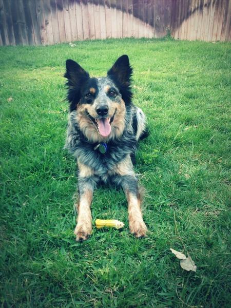 Australian Cattle Dog Australian Shepherd Mix