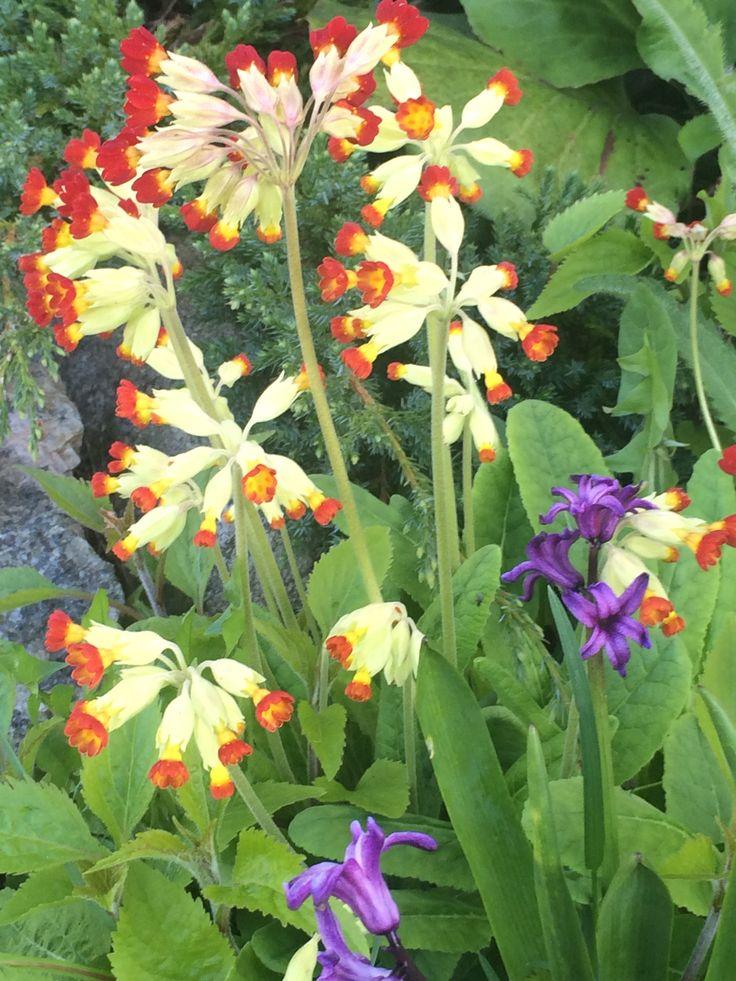 Kevätesikko, Primula...