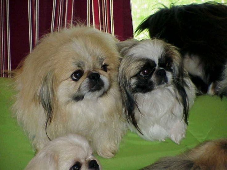 Toy and Sleeve Pekingese Pekingese puppies for sale Pekingese Breeder My WebSite Terry Lee AKC English Bull Dog Puppies for Sale