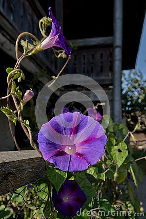 Morning Glory Purple Flower, Rural Scene In Home Garden - Download From Over 25 Million High Quality Stock Photos, Images, Vectors. Sign up for FREE today. Image: 42335078
