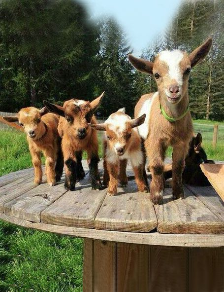 Kids galore!  And yeah, goats can be jerks. But that's what makes them so lovable...(said as a non-goat owner).