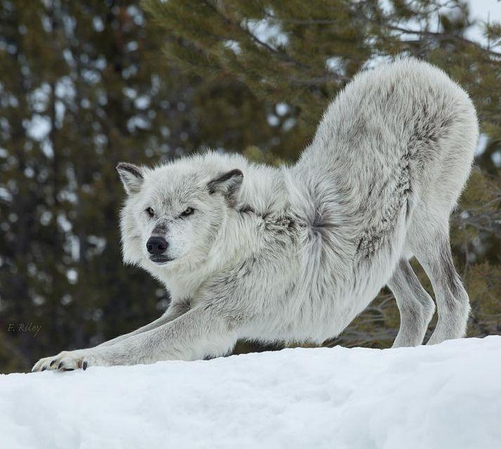 Lobos inteligentes en Pinterest  Lobos, Lobos blancos y Lobo ?rtico