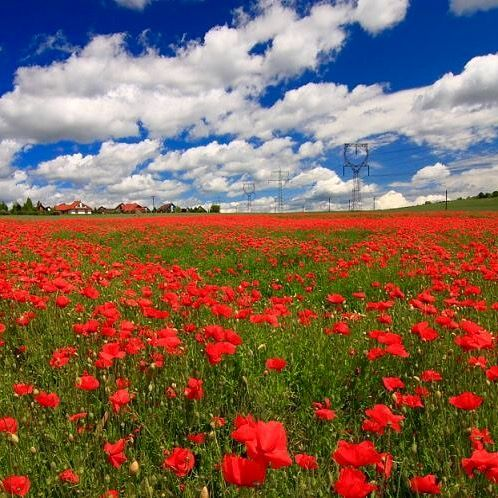 """""""The brilliant poppy flaunts her head Amidst the ripening grain, And adds her voice to sell the song That August's here again.""""  ~ Helen Winslow (image at pixhaus)"""